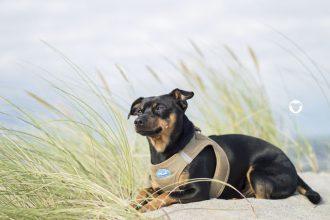 Pinscher Buddy, Buddy and Me, Urlaub mit Hund, Ostsee, Zingst, Camping, Meer, Dünen
