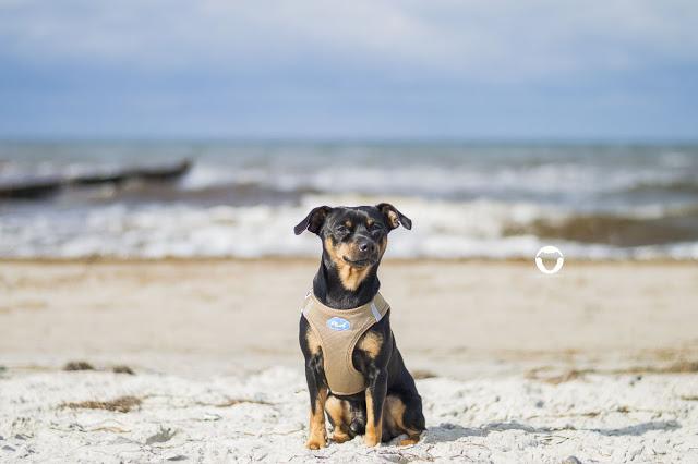 Pinscher Buddy, Buddy and Me, Hundeblog, Dogblog, Urlaub mit Hund, Ferien an der Ostsee, Zingst, Darß, Nationalpark, Strand, Naturstrand, Meer, Ausflug