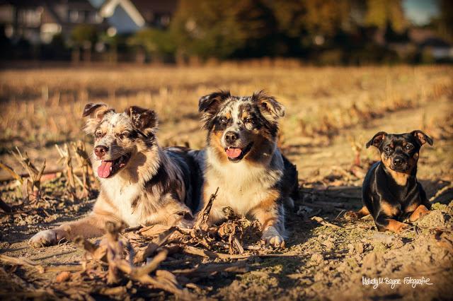 Buddy and Me, Hundeblog, Dogblog, Pinscher Buddy, Zwergpinscher, Freundschaft, Playdate, Indianermädchen und Wildfang, Hazel, Emmely, Australian Shepherd, Aussie, Nikon D3200, 50mm 1.8, Hundefotografie