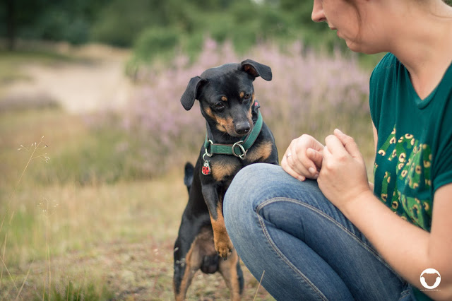 Pinscher Buddy, Buddy and Me, Hundeblog, Dogblog, Zwergpinscher, Rüde, kleine Rassen, Hunde, Erziehung, positive Konditionierung, Grenzen, Erfahrungen, kleine Hunde erziehen, Petfindu Hundemarke