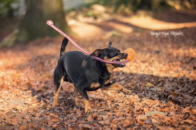 Pinscher Buddy, Buddy and Me, Hundeblog, Dogblog, Hundefotografie, Leben mit Hund, Hundehalter, Glück, Glücklichsein, Veränderungen, Hund, Lebensfreude, kleine Dinge, Selbstfindung, Erwachsensein, Spielen, Toben, Herbst