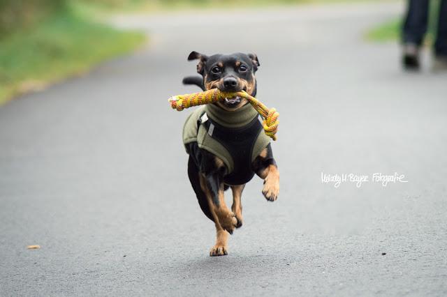 Pinscher Buddy, Buddy and Me, Hundeblog, Dogblog, Hundefotografie, Zwergpinscher, kleine Rassen, Leinenführigkeit, Erziehung, Training, Gassi, Spazieren, Treusinn Spiely