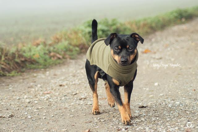 Pinscher Buddy, Buddy and Me, Hundeblog, Dogblog, Zwergpinscher, Leben mit Hund, Hundefotografie, Herbst, November, Nebel, Felder, Gassi, Spazieren