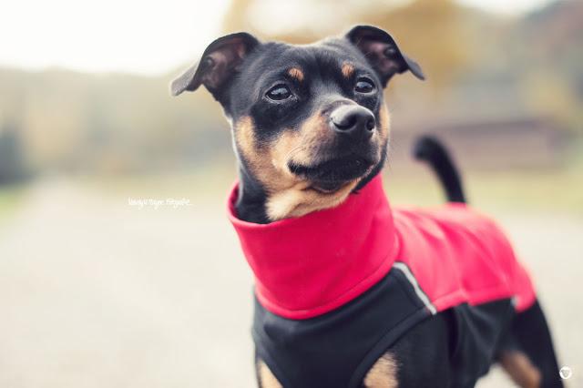Pinscher Buddy, Buddy and Me, Hundeblog, Dogblog, Zwergpinscher, Leben mit Hund, Hundefotografie, Herbst, Laub, bunte Blätter, Essen, Ruhrgebiet, Gassi, Hachico Sofadogwear