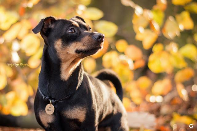 Pinscher Buddy, Buddy and Me, Hundeblog, Dogblog, Zwergpinscher, Leben mit Hund, Hundefotografie, Essen, Ruhrgebiet, Herbst, Laub, bunte Blätter, Hund im Herbst
