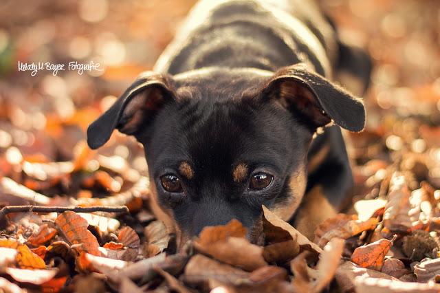 Pinscher Buddy, Buddy and Me, Hundeblog, Dogblog, Hundefotografie, Leben mit Hund, Hundehalter, Glück, Glücklichsein, Veränderungen, Hund, Lebensfreude, kleine Dinge, Selbstfindung, Erwachsensein, Herbst, Herbstlaub