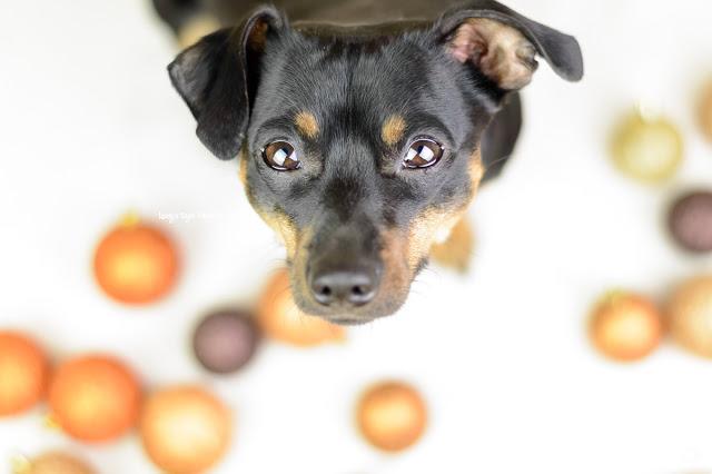 Pinscher Buddy, Buddy and Me, Hundeblog, Dogblog, Zwergpinscher, Leben mit Hund, Hundefotografie, Essen, Ruhrgebiet, Winter, Dezember, Winter mit Hund,Weihnachten, Blogferien