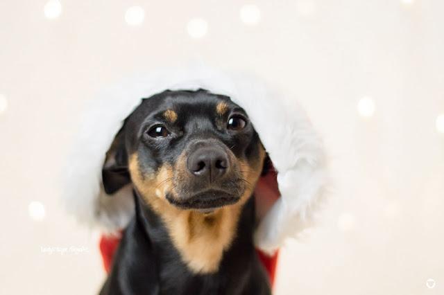 Pinscher Buddy, Buddy and Me, Hundeblog, Dogblog, Zwergpinscher, Leben mit Hund, Hundefotografie, Weihnachten, Advent, Adventszeit mit Hund, Nikolaus, artig, Kohle, Kekse, Weihnachtsmütze, Bokeh, Portrait, Hund