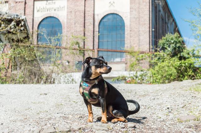 Pinscher Buddy, Zwergpinscher, Rüde, Hundeblog, Dogblog, Ruhrgebiet, Ruhr, Zeche Wohlverwahrt, Halde, Spazieren mit Hund, Gassi, Wandern mit Hund, Essen, Horst