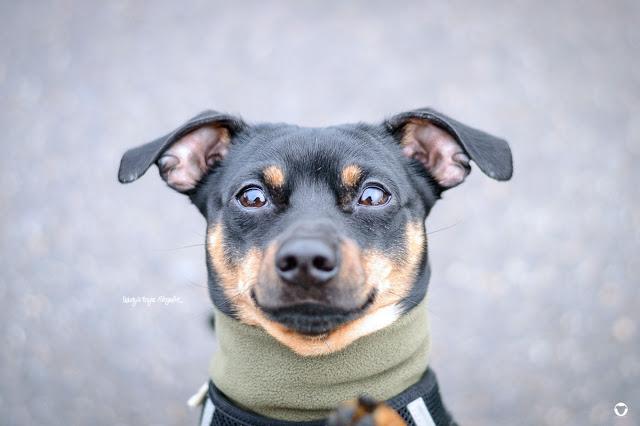 Pinscher Buddy, Buddy and Me, Hundeblog, Dogblog, Zwergpinscher, Leben mit Hund, Hundefotografie, Essen, Ruhrgebiet, Rüde, Hormone, Kastration, unkastriert, Chip, Hormonchip, Kastration auf Zeit, Erfahrungen