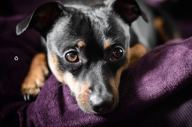 Pinscher Buddy, Buddy and Me, Hundeblog, Dogblog, Zwergpinscher, Leben mit Hund, Hundefotografie, Essen, Ruhrgebiet, sensibler Hund, empfindlich, Gesundheit, Bauchschmerzen, Schmerzempfindlichkeit, Sensibelchen, Erfahrungen, Probleme, Erziehung