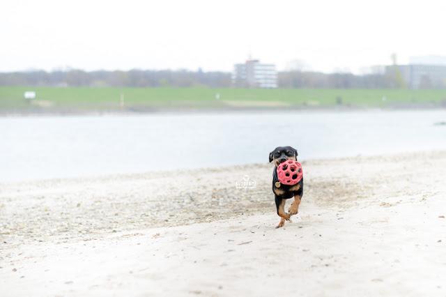 Pinscher Buddy, Buddy and Me, Hundeblog, Dogblog, Zwergpinscher, Leben mit Hund, Hundefotografie, Essen, Ruhrgebiet, März, Frühling mit Hund, Gassi, Outdoor, Rhein, Duisburg, Spielen, Apportieren, Rennen, Flitzen, Gitterball