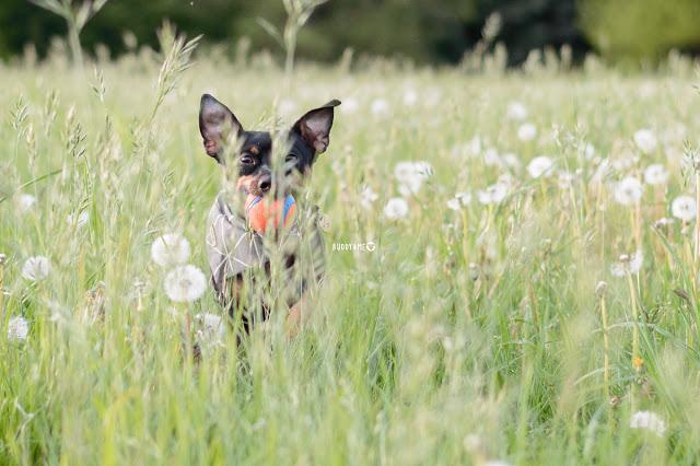 Pinscher Buddy, Buddy and Me, Hundeblog, Dogblog, Zwergpinscher, Leben mit Hund, Hundefotografie, Essen, Ruhrgebiet,Gassi, Outdoor, Pusteblumen, Dandelion, Glück, Glücklichsein, Happiness