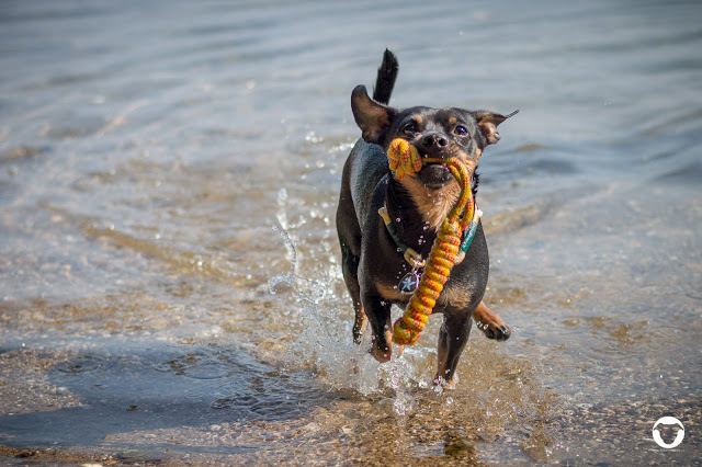Pinscher Buddy, Buddy and Me, Hundeblog, Dogblog, Zwergpinscher, Leben mit Hund, Hundefotografie, Essen, Ruhrgebiet,Gassi, Outdoor, Sommer, Wasser, Schwimmen, Apportieren, Spass, Freude, Hundefotografie, Sommer, Sonne, Juni