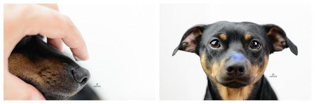 Pinscher Buddy, Buddy and Me, Hundeblog, Dogblog, Zwergpinscher, Leben mit Hund, Hundefotografie, Essen, Ruhrgebiet,Gassi, Outdoor, VIMI Simply Sunscreen 30, Sonnencreme für Hunde, Sonnenschutz, eincremen, Nase, Ohren, Sommer mit Hund, Sonnenbrand