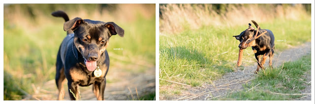 Pinscher Buddy, Buddy and Me, Hundeblog, Dogblog, Zwergpinscher, Leben mit Hund, Hundefotografie, Essen, Ruhrgebiet,Gassi, Outdoor, Hund in Bewegung, Apportieren, Treusinn Spiely, Sommer, Spaziergang, Beschäftigung, Glück