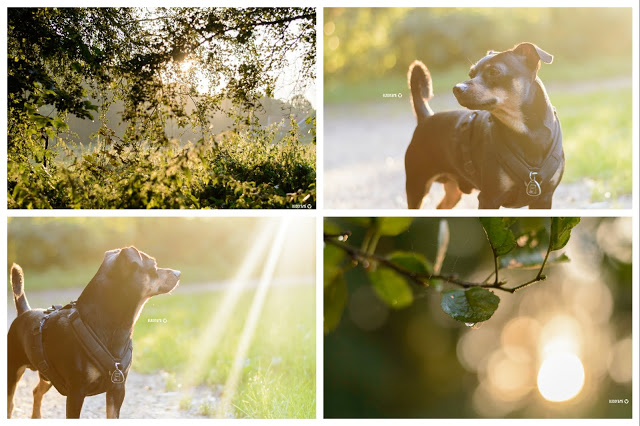 Pinscher Buddy, Buddy and Me, Hundeblog, Dogblog, Zwergpinscher, Leben mit Hund, Hundefotografie, Essen, Ruhrgebiet,Gassi, Outdoor, Mülheim, Rumbachtal, Sonnenuntergang, August, Sommer, Wiese