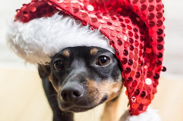 Pinscher Buddy, Buddy and Me, Hundeblog, Dogblog, Zwergpinscher, Leben mit Hund, Hundefotografie, Essen, Ruhrgebiet,Gassi, Outdoor, Weihnachten, Nikolaus, Hund mit Weihnachtsmütze, Xmas, Christmas
