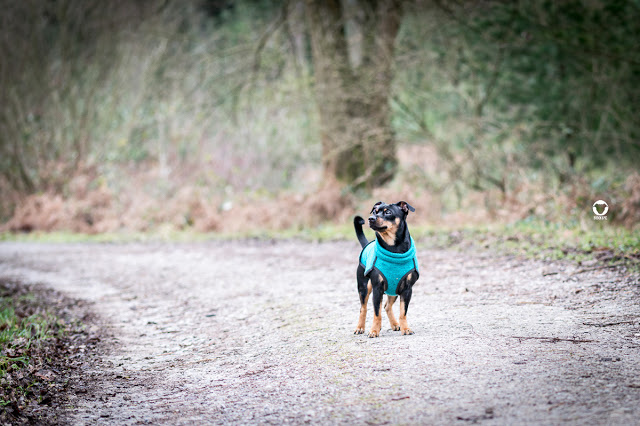 Pinscher Buddy, Buddy and Me, Hundeblog, Dogblog, Zwergpinscher, Leben mit Hund, Hundefotografie, Essen, Ruhrgebiet,Gassi, Outdoor, Stinkesberg, Ratingen, Wald, Tour, Komoot, Sofa Dog Wear, Kevin Jumper