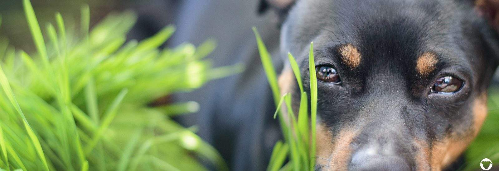 Pinscher Buddy, Hundeblog, Dogblog, Balkon, Wohnung, DIY, Wiese, Graskiste, selbstgemacht, Weizengras