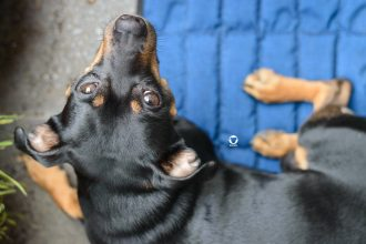 Pinscher Buddy, Buddy and Me, Hundeblog, Dogblog, Sommer, Abkühlung, Hitze, Kühlmatte für Hunde, Aqua Coolkeeper, Erfrischung, Kühle