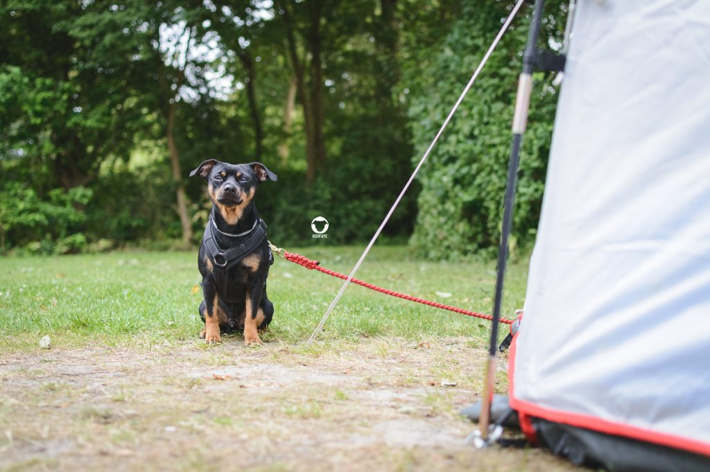 Pinscher Buddy, Buddy and Me, Camping mit Hund, Südholland, Hellevoetsluis, Weergors, Zelten, Nordsee