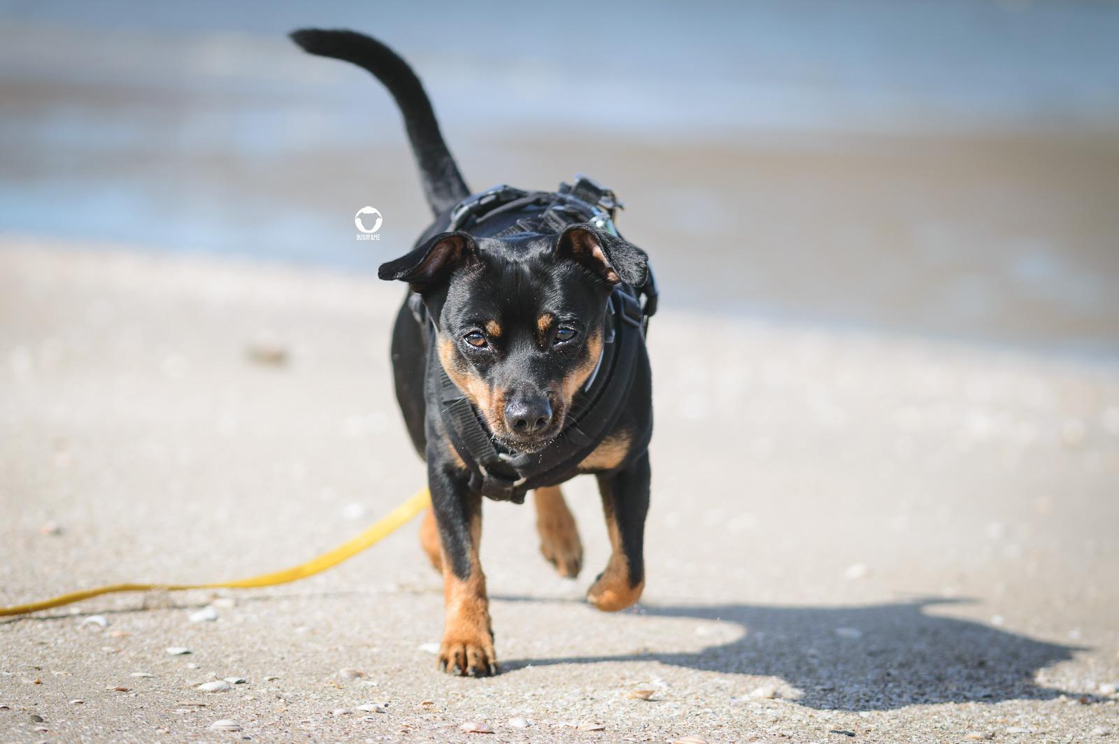 Pinscher Buddy, Buddy and Me, Camping mit Hund, Südholland, Hellevoetsluis, Weergors, Zelten, Nordsee, Hundestrand