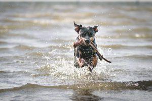 Pinscher Buddy, Buddy and Me, Camping mit Hund, Südholland, Hellevoetsluis, Weergors, Zelten, Nordsee, Hundestrand, Treusinn Spiely