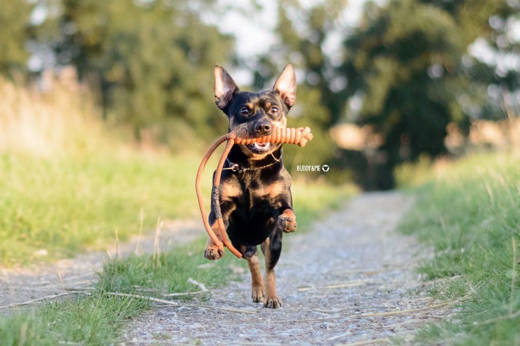 Pinscher Buddy, Buddy and Me, Hundeblog, Dogblog, Hundefotografie, Nikon D3200, Objektive, Bewegungsfotos, Portraits, Nikkor 50mm 1.8