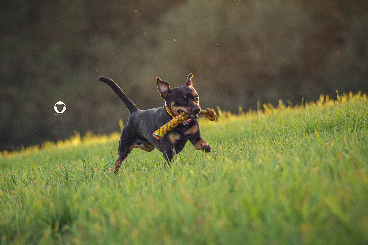 Pinscher Buddy, Buddy and Me, Hundeblog, Dogblog, Nikon D3200, Tamron 70-300mm, Hundefotografie, Bewegung, in Motion
