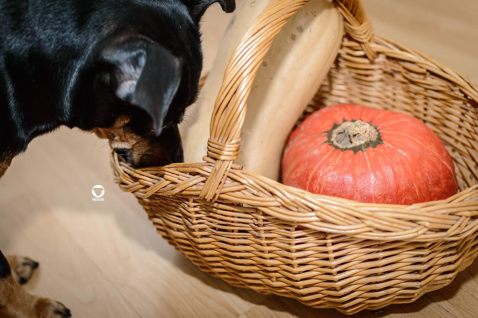 Pinscher Buddy, Buddy and Me, Hundeblog, Dogblog, Ernährung, Rezepte, Barfen, Herbst, Kürbis, Gemüse, gesund, lecker, Kürbissuppe