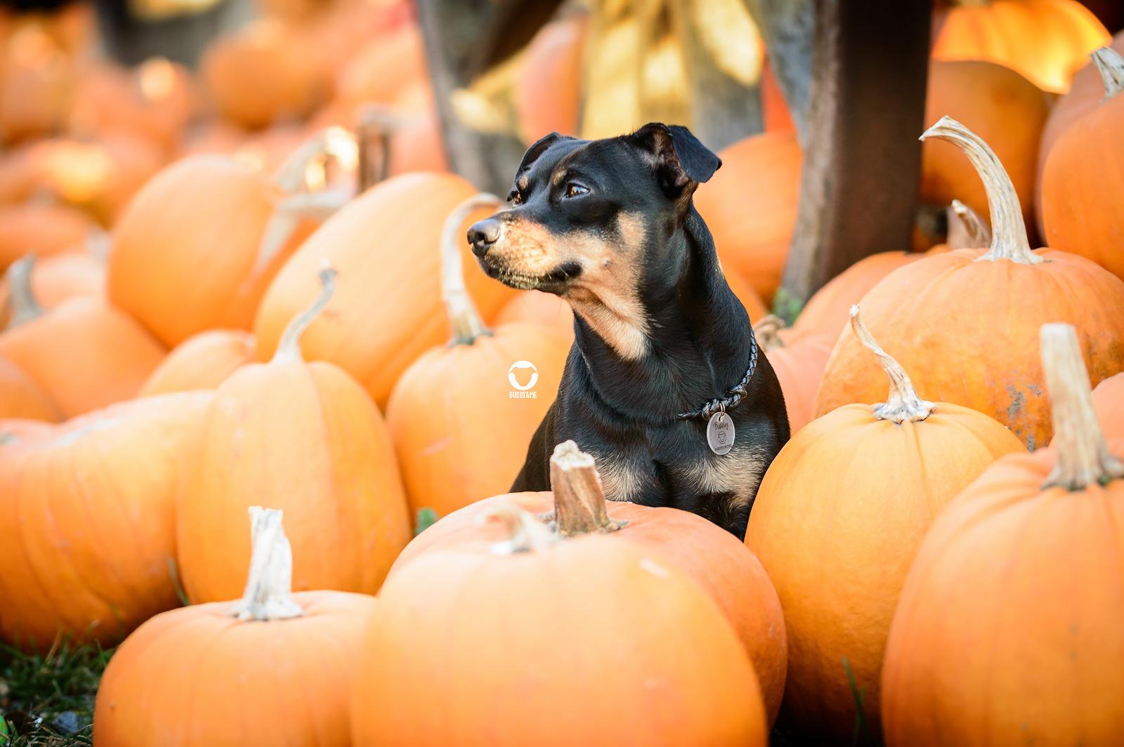 Pinscher Buddy, Buddy and Me, Hundeblog, Dogblog, Halloween, Kürbisse, Kürbis, Hundefotografie, Nikon D3200, Herbst
