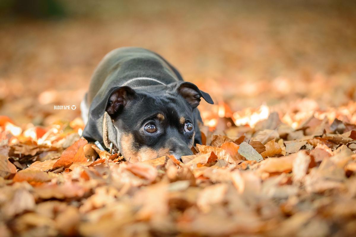 Pinscher Buddy, Buddy and Me, Hundeblog, Dogblog, Hundeliebe, Team, Herbst, Herbstliebe, Ruhrgebiet, Spaziergänge, buntes Laub, Gelassenheit, Ruhe, positives Denken, Pinscher, Zwergpinscher, kleine Hunde