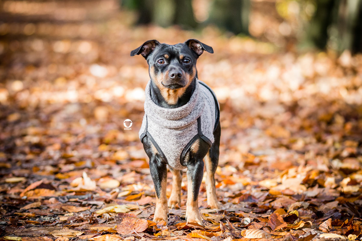 Pinscher Buddy, Buddy and Me, Hundeblog, Dogblog, Hundeliebe, Team, Herbst, Herbstliebe, Ruhrgebiet, Spaziergänge, buntes Laub, Gelassenheit, Ruhe, positives Denken, Pinscher, Zwergpinscher, kleine Hunde, Hundepullover