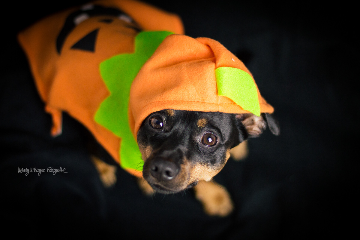 Pinscher Buddy, Buddy and Me, Hundeblog, Dogblog, Halloween, Kürbis, Hundekostüm, Verkleidung, Studio, Nikon D3200