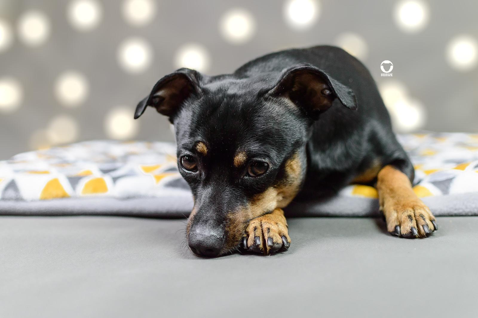 Pinscher Buddy, Buddy and Me, Hundeblog, Dogblog, Fotostudio, Heimstudio, Hundefotografie, Fotohintergrund, Fotoleuchte, Softbox, Tageslichtlampe, Aufsteckblitz, Equipment, Tipps, Tricks, einfach, günstig