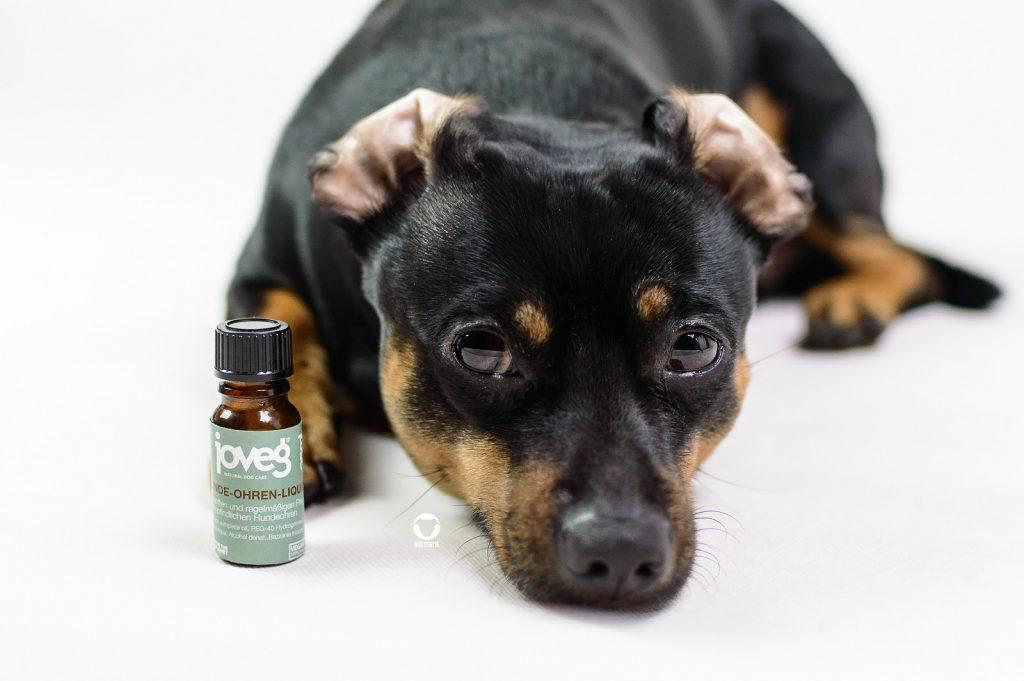 Pinscher Buddy, Buddy and Me, Hundeblog, Dogblog, Produkttest, Kooperation, Joveg, Hunde-Ohren-Liquid, Hundeohren, Juckreiz, Reinigen, Vorbeugung, Linderung, Naturprodukt, natürliche Inhaltsstoffe, Naturkosmetik