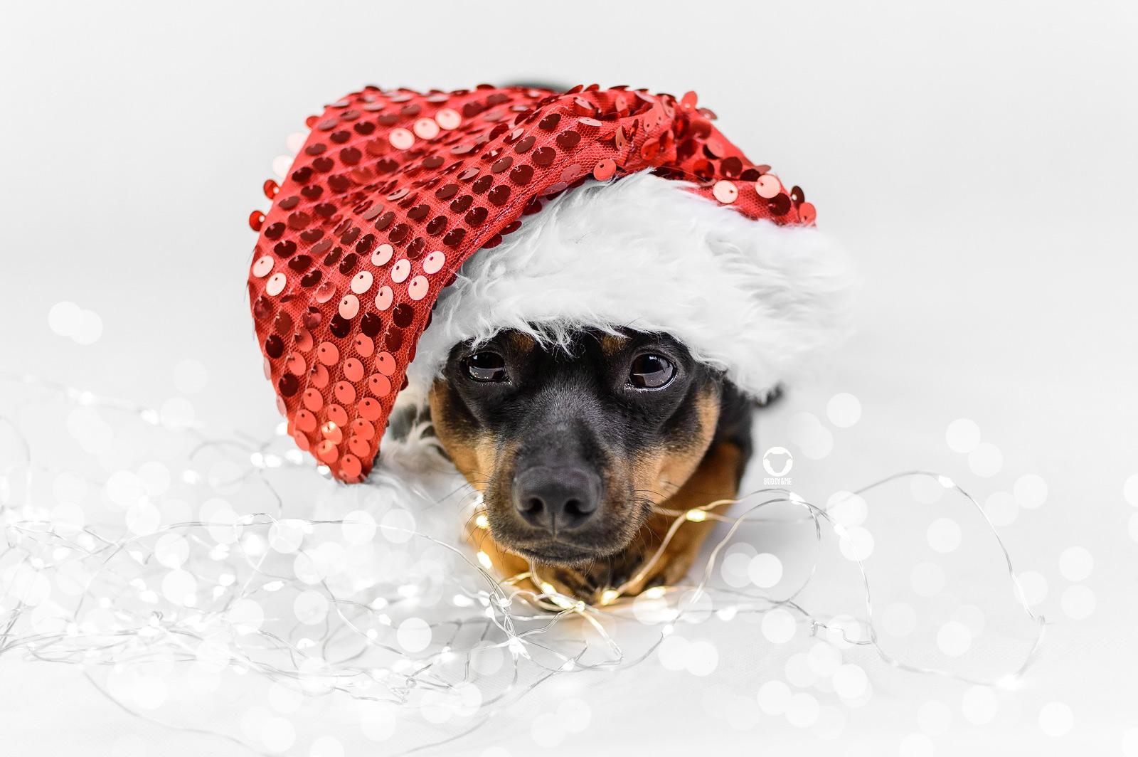 Pinscher Buddy, Buddy and Me, Hundeblog, Dogblog, Weihnachten, Weihnachtsferien, Danke