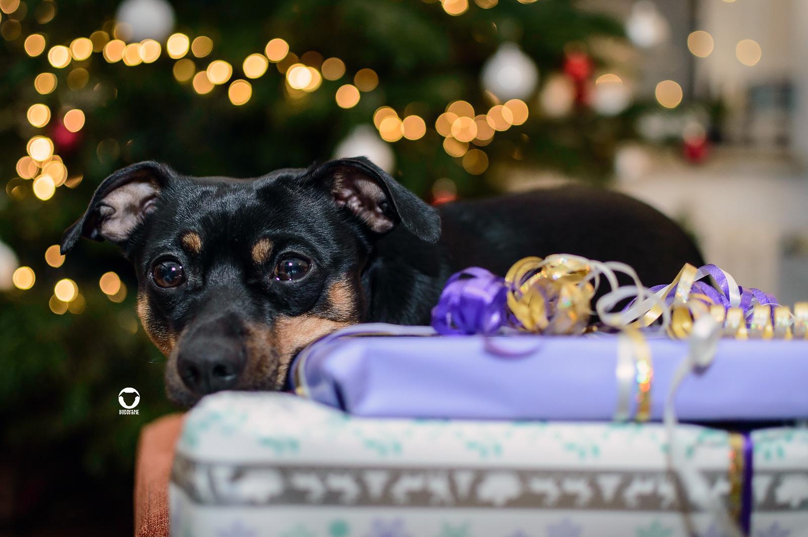 Pinscher Buddy, Buddy and Me, Hundeblog, Dogblog, Weihnachten, Geschenke, weihnachtsgeschenke für Hunde, Geschenkideen, Geschenktipps für Hunde, für Zweibeiner, Last Minute, Furbo Hundekamera, Gutscheine