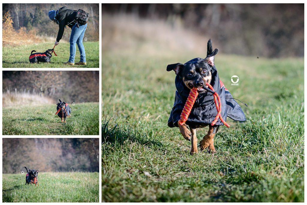 Pinscher Buddy, Buddy and Me, Hundeblog, Dogblog, Winter, kleine Hunde, kurzhaar, keine Unterwolle, Wintermantel, Hundemantel, Sofa Dog Wear, Feek Sport, frieren, Wärme, geschützt