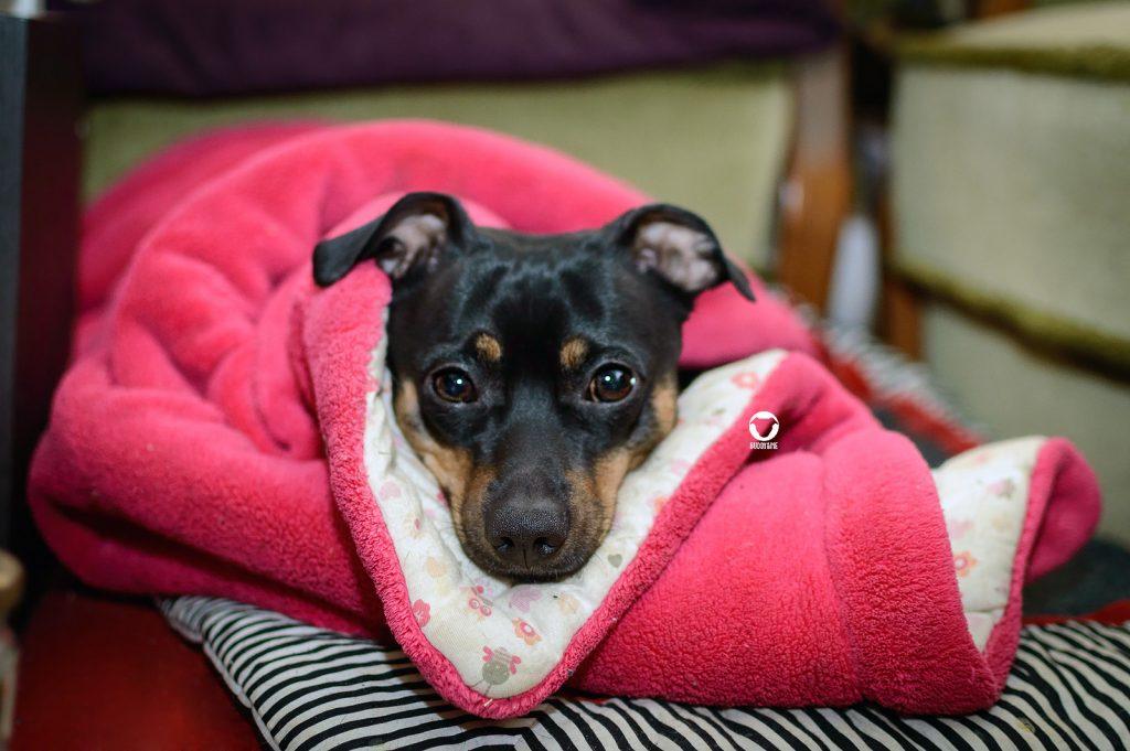 Pinscher Buddy, Buddy and Me, Hundeblog, Dogblog, Gesundheit, Krankheit, Bauchschmerzen, Bauchweh, Luft, Darm, Blähungen, Unverträglichkeit, Schmerzen