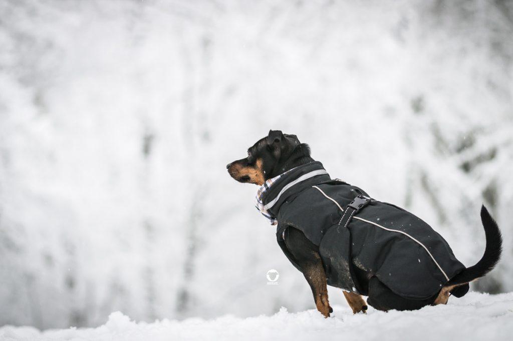 Pinscher Buddy, Buddy and Me, Hundeblog, Dogblog, Ruhrgebiet, Essen, Winter, Schnee, Wald, Hundemantel