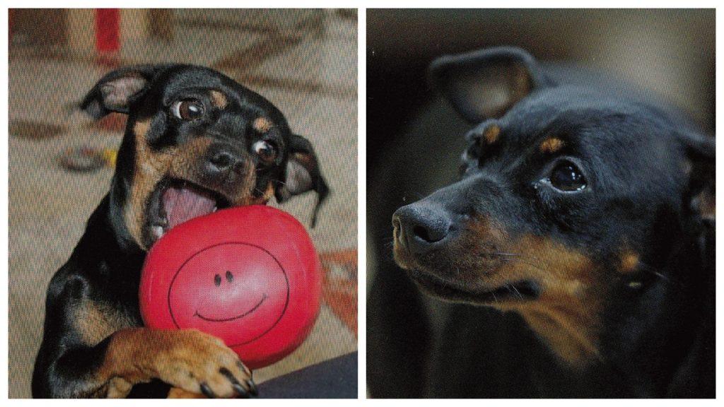 Pinscher Buddy, Buddy and Me, Hundeblog, Dogblog, Canix DNA Test, Kooperation, Erfahrungen, Bericht, Stammbaum, Mischling, Herkunft, Hund, DNA, Gene
