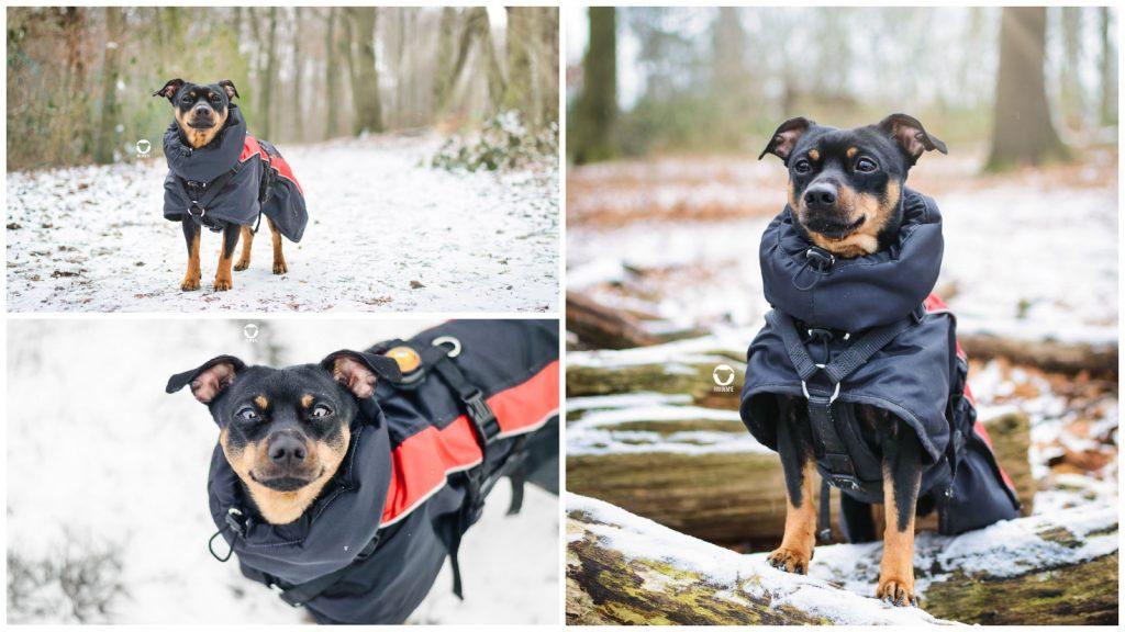Pinscher Buddy, Buddy and Me, Hundeblog, Dogblog, Ruhrgebiet, Essen, kleine Hunde, Winter, Hundemantel, Schnee, 2019, Wald