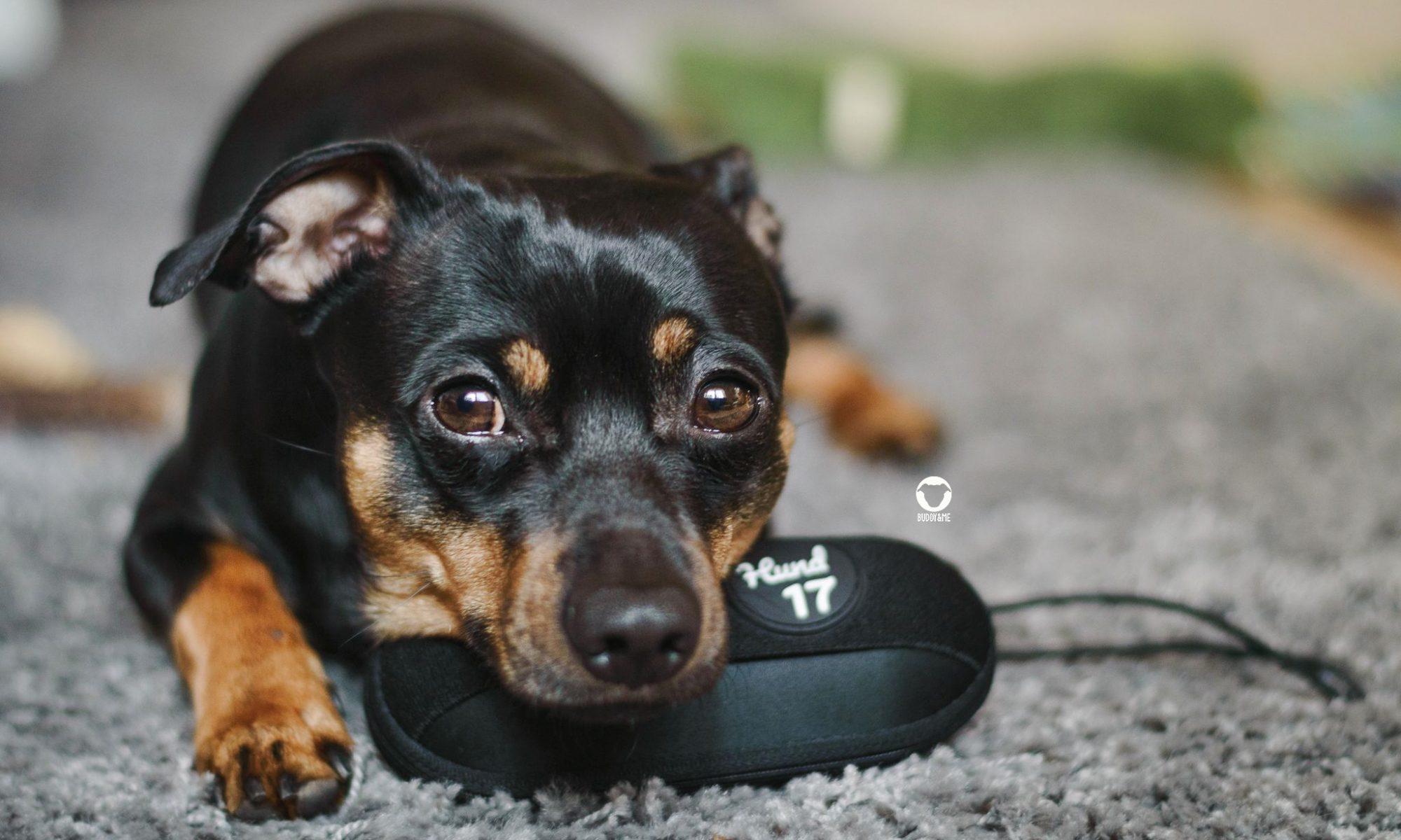 Pinscher Buddy, Buddy and Me, Hundeblog, Dogblog, Petfluencer, Kooperation, Produkt, Test, Tipp, Häufchenhelfer, klein, praktisch, schwarz