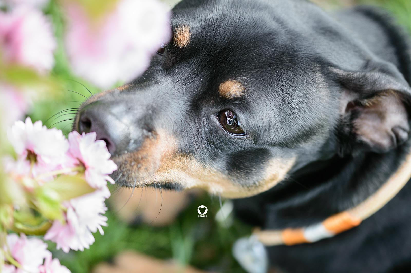 Pinscher Buddy, Buddy and Me, Hundeblog, Dogblog, Frühling, Frühlingsgefühle, Hormone, Blumen, Blüten, Schnuppern, Schnüffeln