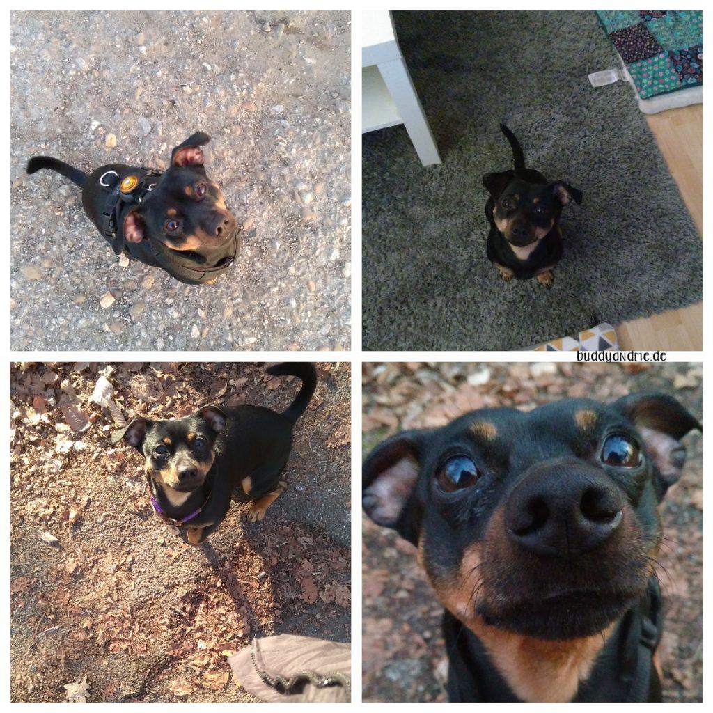 Pinscher Buddy, Buddy and Me, Hundeblog, Dogblog, A little bit of Lately, Februar, 2019