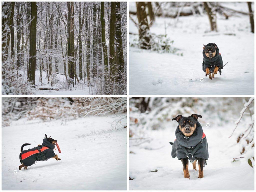 Pinscher Buddy, Buddy and Me, Hundeblog, Dogblog, Schnee, Ruhrgebiet, 2019, Januar, Winter, Apportieren, Spiely, Hundemantel, Bewegung