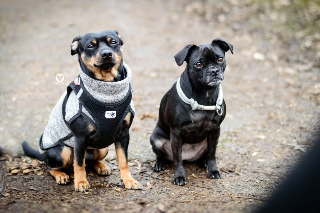 Pinscher Buddy, Buddy and Me, Hundeblog, Dogblog, Hundefreunde, Mops Nala, Ruhrgebiet, Treffen, Playdate