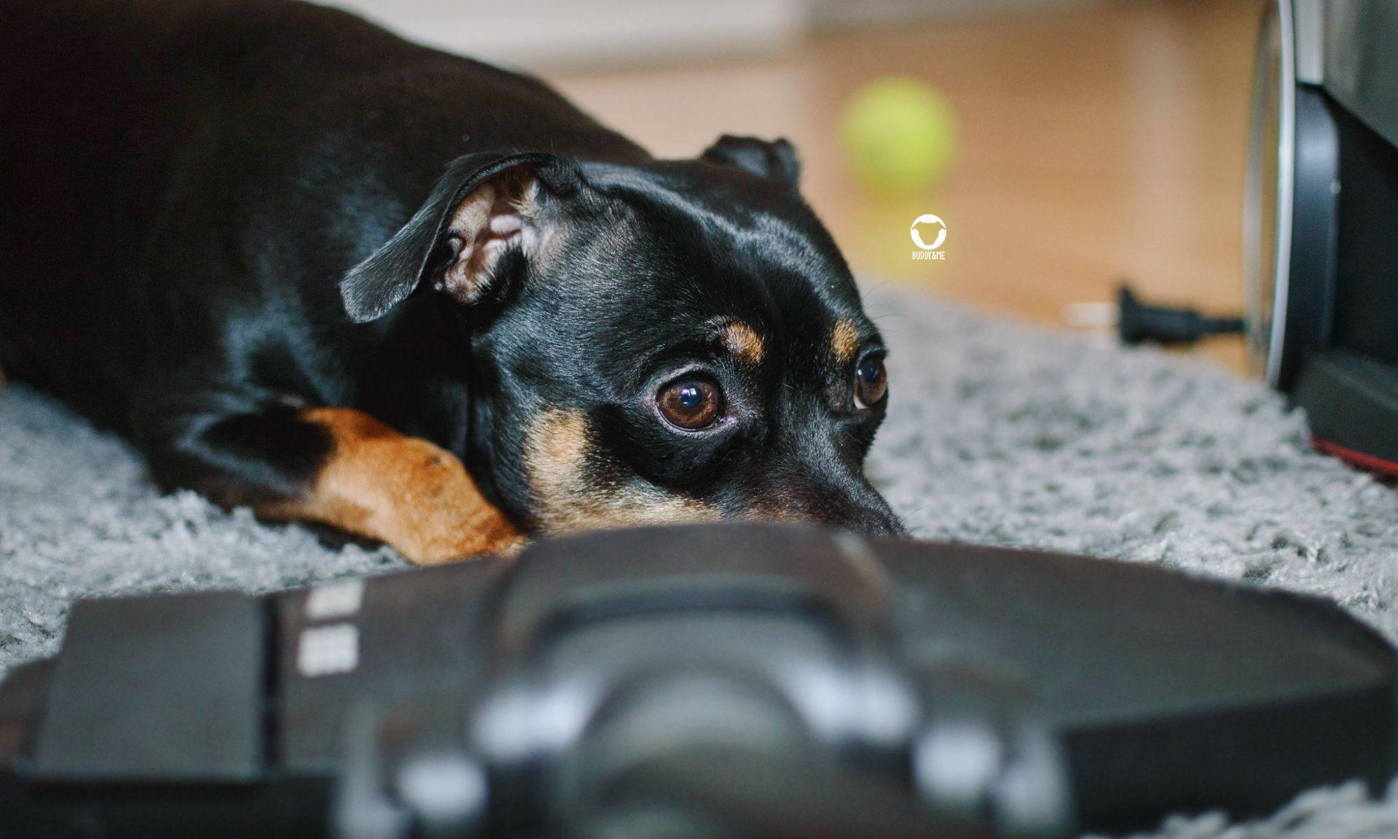 Pinscher Buddy, Buddy and Me, Hundeblog, Dogblog, Staubsauger, Haushalt, Angst, Ungeheuer, verstecken, flüchten, Hundealltag
